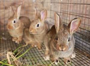 Meat Rabbits ( NewZealand / Dutch) for sale