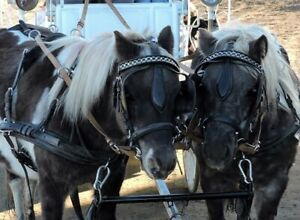 Driving matched pair of ponies. Lessons Training