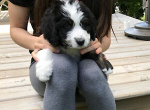 Bernedoodle puppies (Bernese Montain Dog x Poodle)