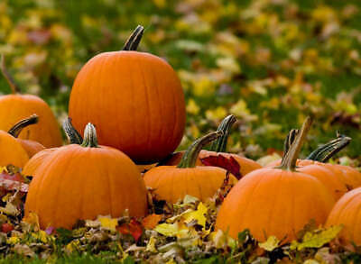15 Korn Riesen-Kürbis BIG MAX -Cucurbita maxima- Speise-Kürbis-Halloween Kürbis
