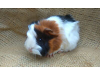 Male Funky Haired, Sheba Mini yak breed guinea pigs for sale