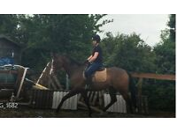 Stunning 16hh Thoroughbred Gelding