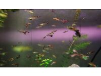 Mix of 35 guppies for £10
