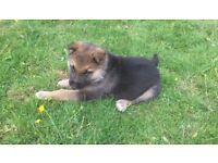 Alsatians puppies