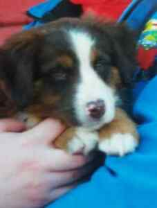 DENALI HAS A NEW HOME - Australian Shepherd Puppy for Rehoming