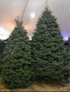 Beautiful Christmas Trees ~6 ft ***DELIVERED TO YOUR DOOR***