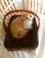 Alliston & District Humane Society beautiful 9 week old kittens