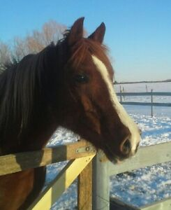16 year old registered Arab mare.