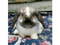 Fluffy Male Mini Lop Rabbit