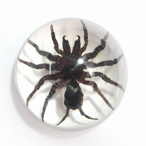 """Real Spider Lucite Acrylic Paperweight Dome 3-1/2 """" Genuine LARGE Spider"""