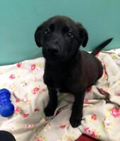"Baby Female Dog - Labrador Retriever: ""Peetree"""