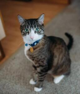 """Adult Male Cat - Domestic Short Hair: """"Obama"""""""