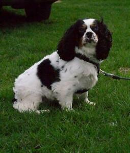 "Adult Female Dog - Cavalier King Charles Spaniel: ""Emma"""