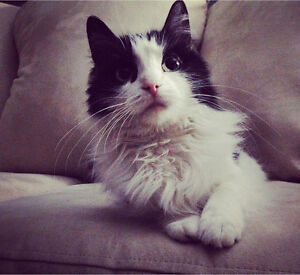 Free cat to a good home Cambridge Kitchener Area image 9
