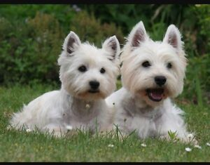 Looking for a Westie or a Schnauzer