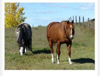 Indoor and Outdoor HORSE BOARDING - Springbank