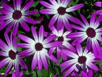 AFRICAN DAISY FLOWER SEEDS - 20 FRESH ...