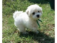KC Bichon Frise Puppies