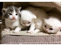 Pure White ragdoll Persian cross kittens