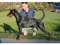 Dobermann Black male for sell - 7 months old beautiful puppy from best European blood lines.