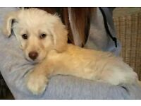 Toy Labradoodle Puppy ivory and apricot