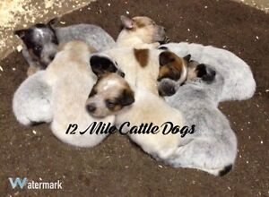 12 Mile Cattle Dogs Expecting Red and Blue Heeler Puppies