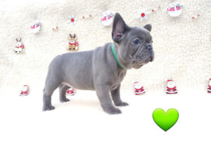 Perfect Blue french bulldog puppy for sale