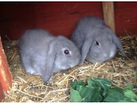 BABY DWARF LOP RABBITS FOR SALE