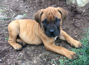 South African Mastiff Puppies
