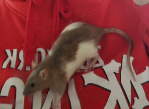 2 RATS FOR REHOMING FREE
