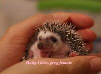 Cute baby hedgehogs