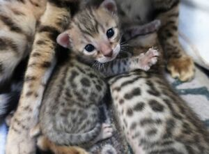 Superbes chatons BENGAL pure race.