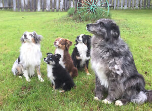 Miniture Australian Shepards