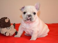 CREAM FRENCH BULLDOG PUPPY