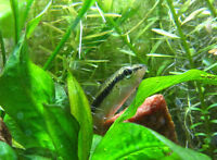 An excellent Siameese algae eater looking for his new home tank
