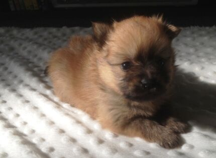 Pure Bred Pomeranian Puppies Werribee Wyndham Area Preview