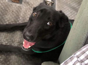 Lauren   1.5 yrs old, Lab cross, Texas rescue for adoption.