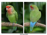 4x peachfaced lovebirds,dna sexed