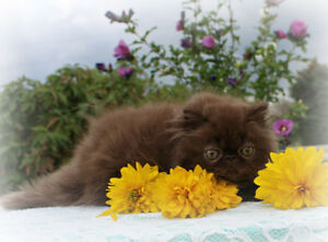 ♥ Loving Persian Kittens ♥ Can Deliver To Area 3rd Wknd in Oct