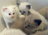 Purebred- Ragdoll Kittens For Sale-Very Friendly