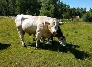Charlious Bull For Sale