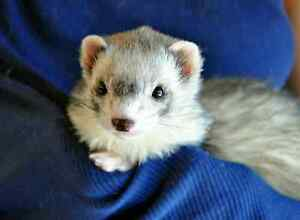 Adorable ferrets for sale