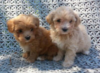 *TOP QUALITY* TINY TOY, TOY MALTI-POO PUPPIES