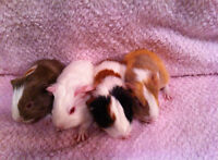 baby and adult guinea pigs