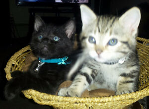 2 cute kittens for sale just in time for xmas Edmonton Edmonton Area image 2