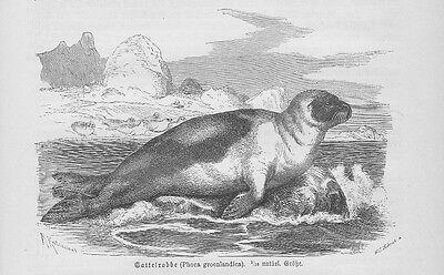Sattelrobbe Pagophilus groenlandicus Holzstich von 1891 Robben Seehunde