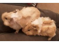 2 Male Baby Guinea Pigs