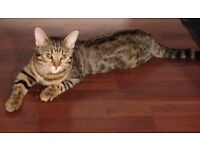VERY PLAYFUL LOVING AND SPOILT 6 MONTH OLD FEMALE KITTEN