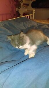 Scottish folds for sale, female and male