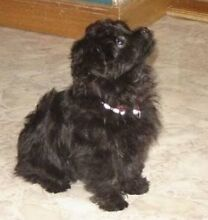 **Puppy** WTB TOY POODLE Lovely Banks Geelong City Preview